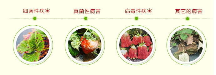 如金草莓种植菌种