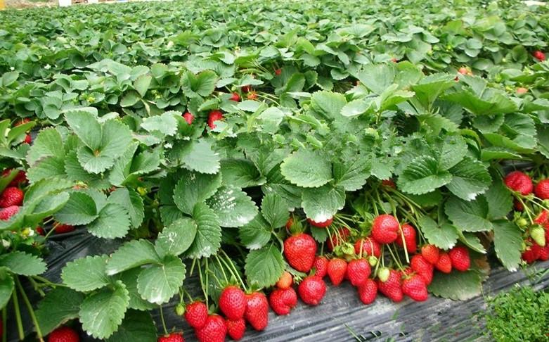 草莓生长步骤图片