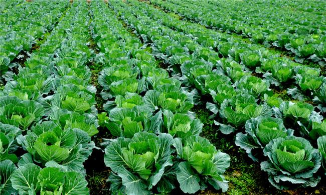 如金菌在瓜果蔬菜种植上的革新
