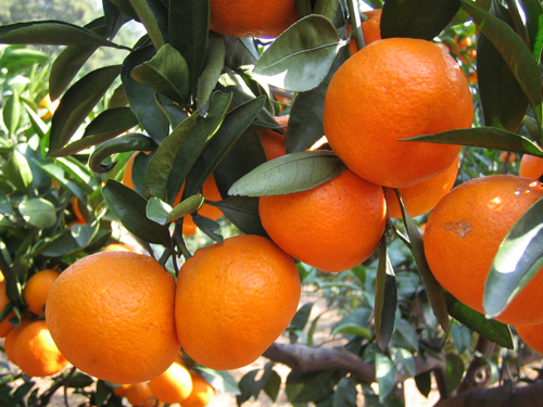 如金菌-柑橘