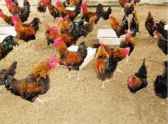 养鸡技术大全视频_在笔者的要求下,他对发酵床养鸡技术作了介绍.