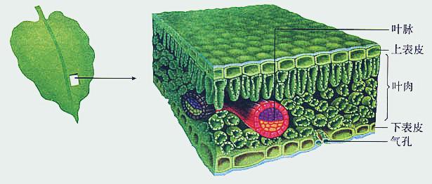 说到叶面施肥的原理,必须要了解叶片的结构。如图可见,叶片大致由上表皮、叶肉细胞、叶脉、下表皮、气孔构成,气孔存在于上表皮和下表皮上,下表皮气孔数量较多,气孔是叶片内外物质交换的通道,叶片可以通过气孔吸收大气中的氧气与二氧化碳等,也可以通过气孔排放氧气、水蒸气等气体。叶面肥中的养分主要就是通过气孔进入叶片被作物吸收的。由于叶片背面气孔较多,因此叶面喷施一般在叶片背面多喷些。 叶面施肥的特点 1.