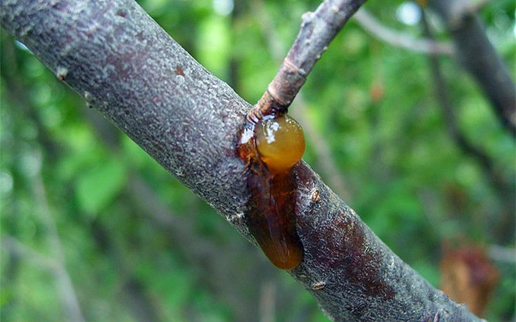 桃胶,是一种鲜为人知的食疗产品,对于吃货来说也是不错的美味,但是桃胶是由桃树受伤而分泌的,这个过程对果农来说就是一种灾害了。桃树流胶病是存在于每个桃园的常见病害,发病范围广,会造成桃树生长减慢,桃子品质下降,严重的还会造成桃树死亡。 桃树流胶病发病特点 桃树流胶病在5月-9月危害较重,且危害范围广,一般老龄树发病多于幼龄树。桃树流胶病在桃树任何枝干甚至果实都可发生,发病时,从病害部位流出淡黄色半透明胶体,胶体会随着时间慢慢变为黄褐色,最终变成棕褐色的硬胶块。发病部位易被有害菌感染,使该处腐烂,严重影响桃树