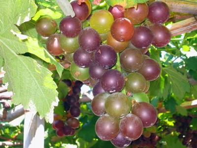 葡萄植株结构图